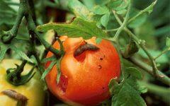 Слизни на томатах