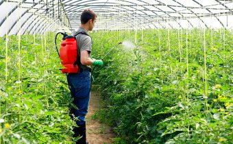 мужчина обрабатывает помидоры