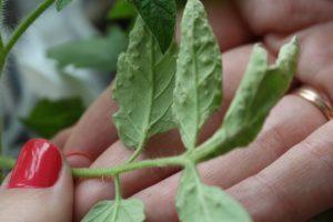пораженные листья томата