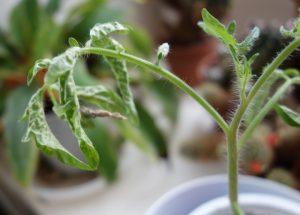больная рассада томата эдемой