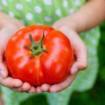 Как сохранить плоды помидоров свежими надолго?