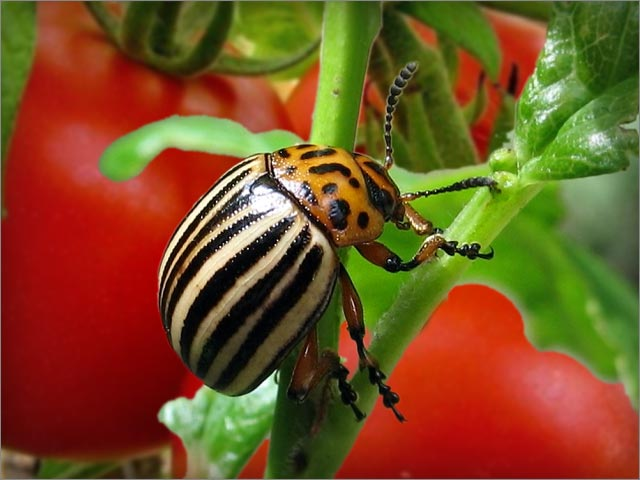 Колорадский жук на помидорах