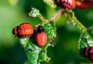 Вред от колорадского жука