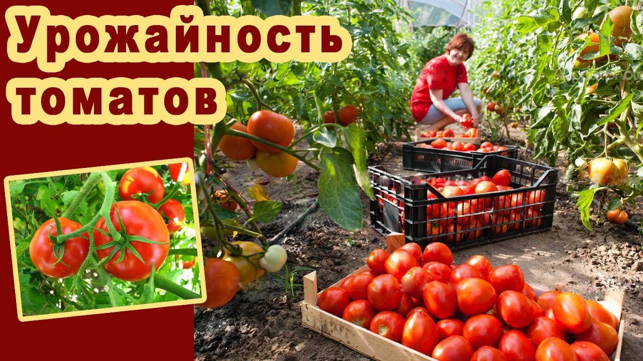 Как увеличить плодоношение томатов