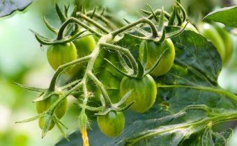 плодовая ветка томатов