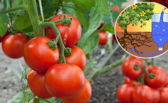 Капельный полив томатов бутылками