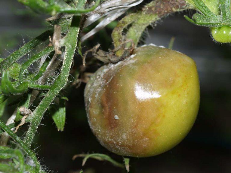 Больной томат