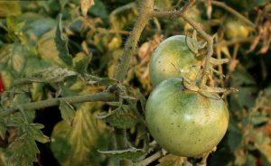 Болезнь серая гниль на томатах