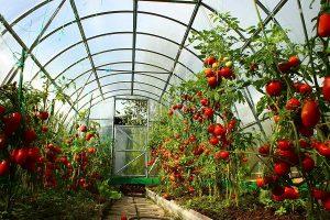 Подвязать помидоры в теплице