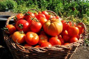 Как повысить урожай помидоров в теплице