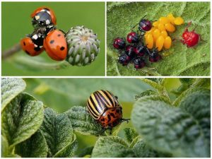 Враги колорадского жука