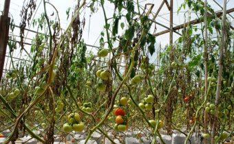 вянут томаты