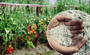 Зола как удобрение для томатов