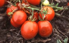 антракноз плодов томатов