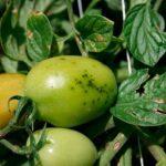 черные точки на плодах