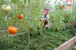Солома в теплице с томатами для чего