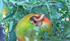 Препарат от совки на томатах