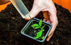 Почему у рассады помидор гниет корень