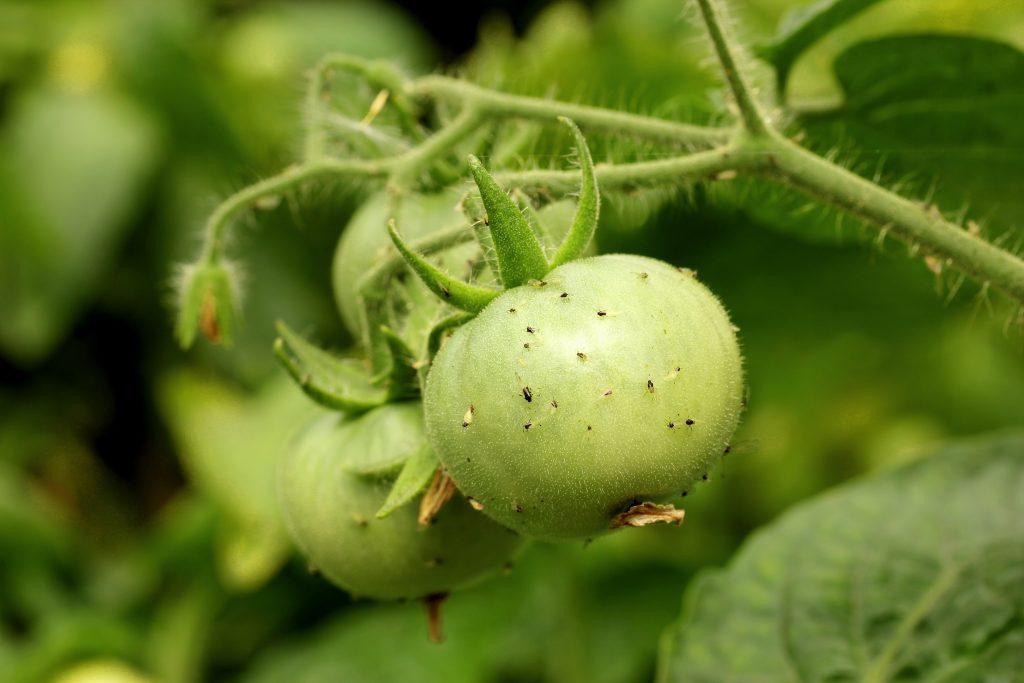 мошки на помидорах