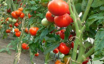 плодоношение томатов