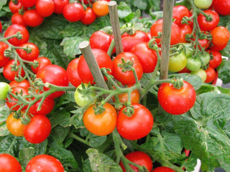 уксус от паразитов для помидор