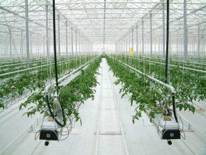 Сорта томатов для гидропоники