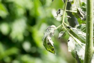 Почему скручиваются макушки у рассады помидор