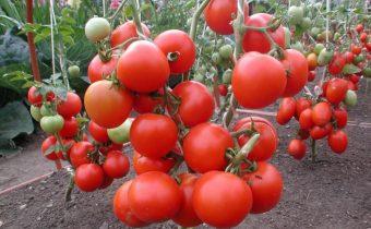 оксихом для помидор