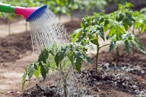 полив помидор
