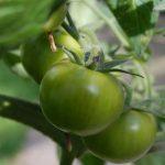 зеленые томаты