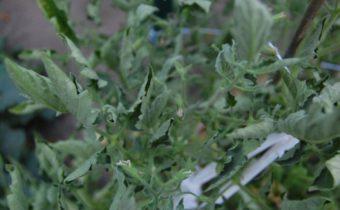 скрученные листья у помидор