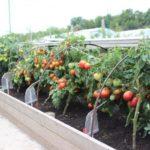 гряды-коробы для помидор