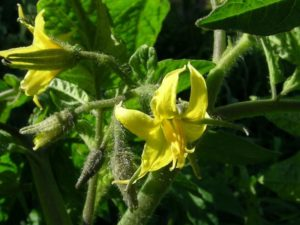 Время цветения томатов в теплице опадают цветы что делать