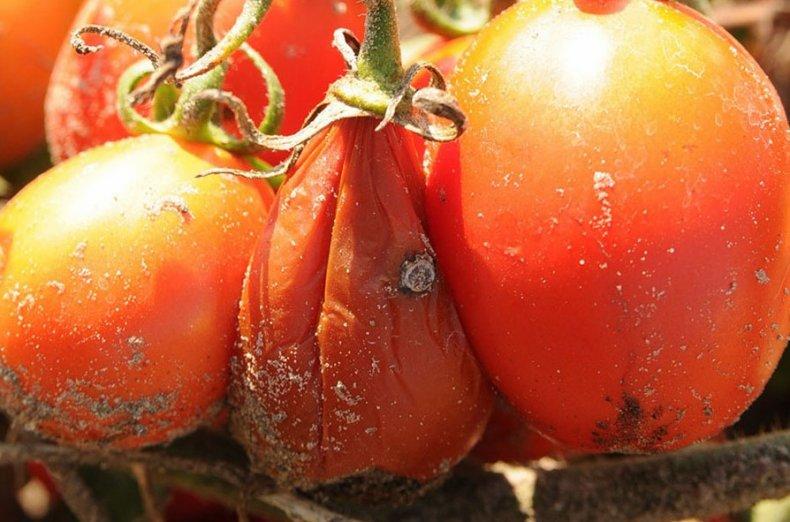 водяная гниль томатов