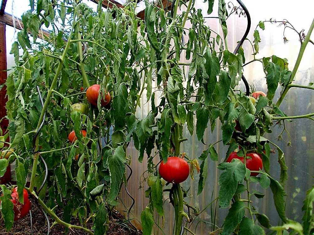плохой рост помидор