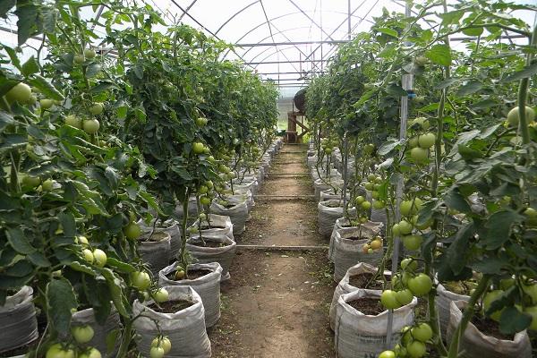 помидоры в мешках