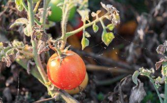 клещ на помидорах