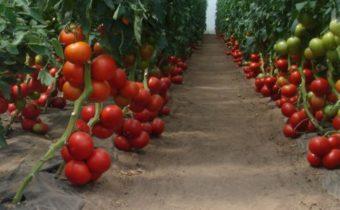 уход за помидорами осенью