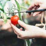 женщина срезает томат