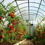 помидоры до крыши теплицы