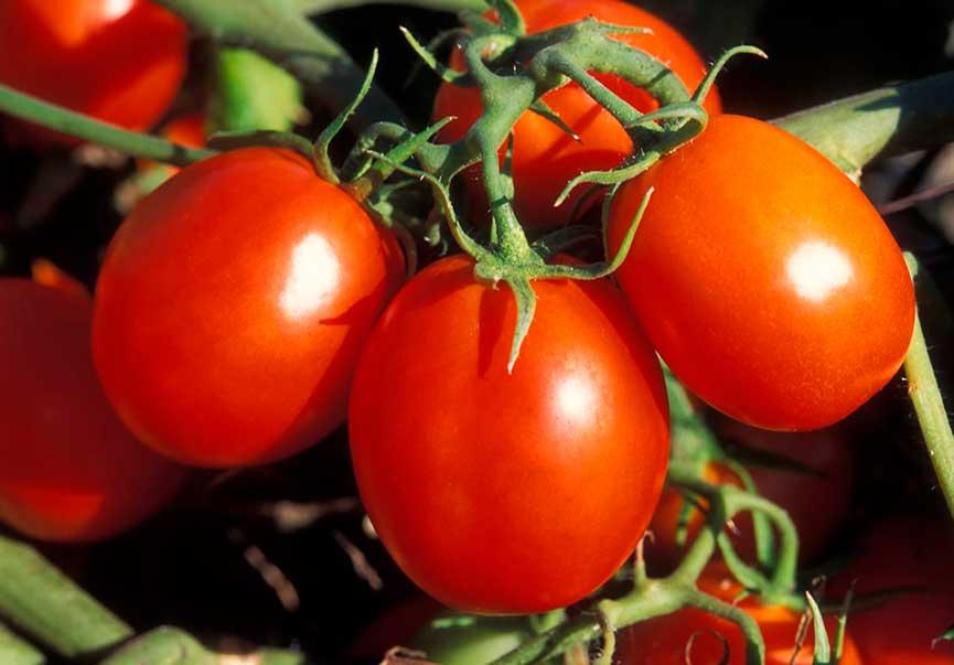 гибриды томатов F1