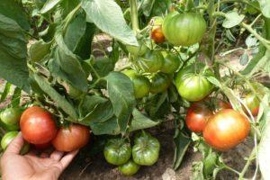 Как нормировать томаты
