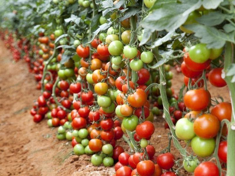 Нормировать томаты