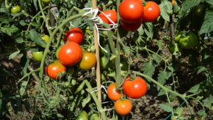 Нормировать помидоры