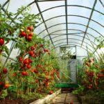 спасение помидор от жары