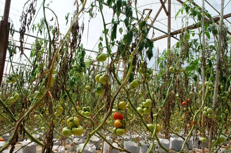 помидоры сгорели