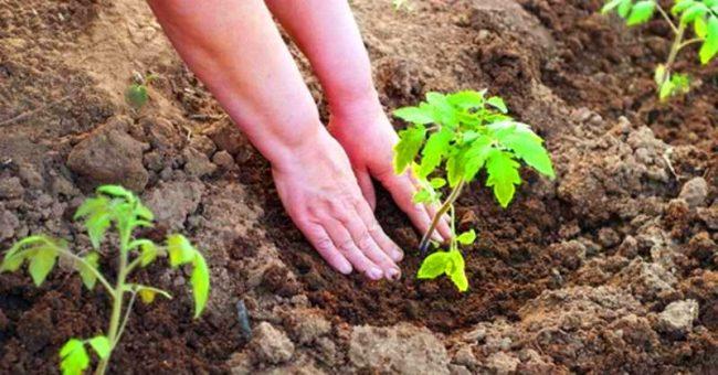 известкование почвы под помидоры