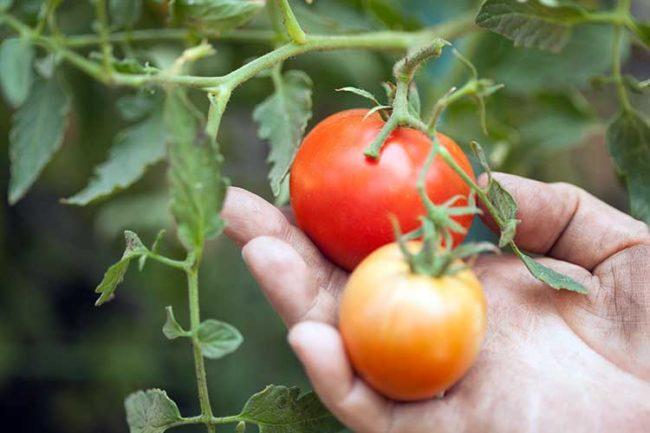 Фасциация (Махровость цветков томатов