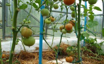 Томат когда и как правильно обрывать листья при выращивании в теплице