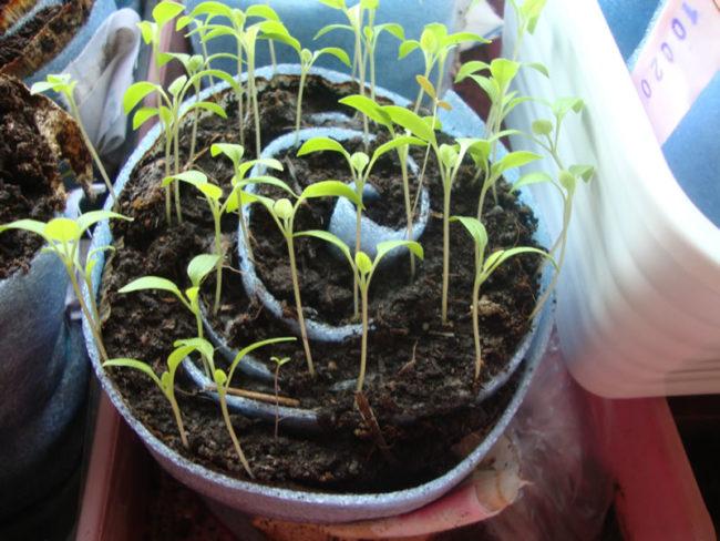 сеем рассаду помидор в улитку